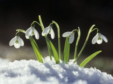 Visit the Snowdrop Spectacular at Burton Agnes Hall
