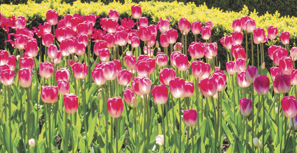 Tulip Festival at Burnby Hall