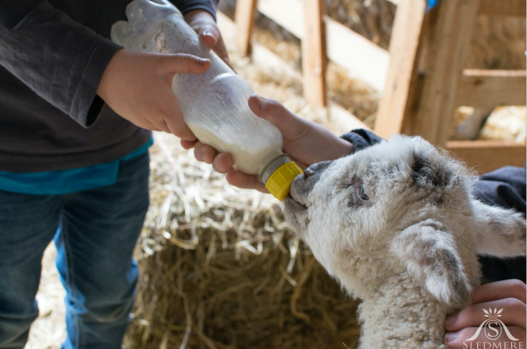 Lambing at Sledmere - Great Days Out at Yorkshire's Great Houses